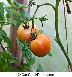 tomatoes in a hotbed