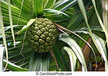 abacaxi, árvore