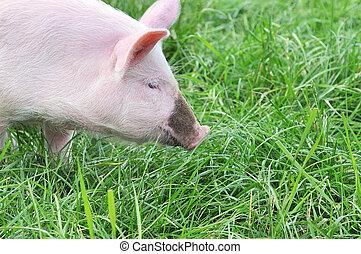 小さい, 豚