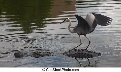 Alligator and Crane - Alligator and crane in a floridian...