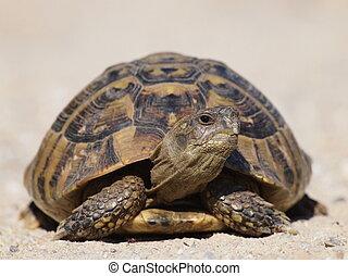 turtle on sand, testudo hermanni