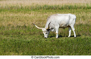 Hungarian grey bull - Beautiful hungarian grey bull in the...