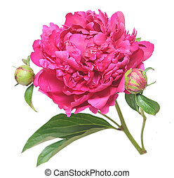 One flower, stem and leaves of a pink peony Paeonia...