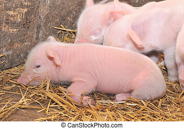 Pigs on straw - Small pigs on straw