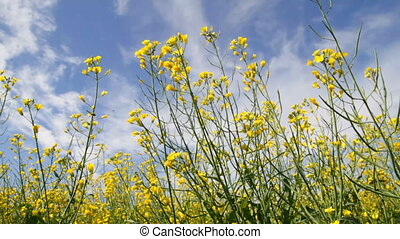 Rapeseed flowers on the blue sky background
