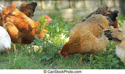 chickens on the green grass