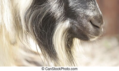Portrait of a goat chewing hay