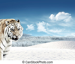 Tiger Panthera tigris and snow - Tiger Panthera tigris in...