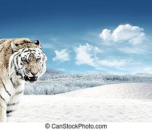 Tiger (Panthera tigris) and snow - Tiger (Panthera tigris)...