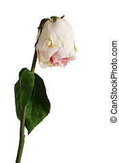 Wilted rose of pale pink color with one leaf - Single wilted...