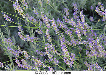Lavender shrub - Image of a beautiful shrub of lavender