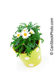 marguerite over a white background.