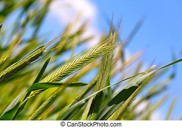 藍色, 天空, 收穫, 小麥