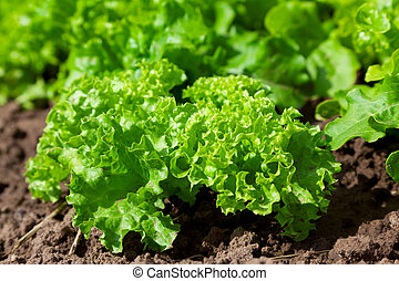 fresh salad /vegetable garden/lettuce plantation