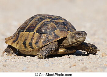 turtle on sand, testudo hermanni - Hermanns Tortoise, turtle...