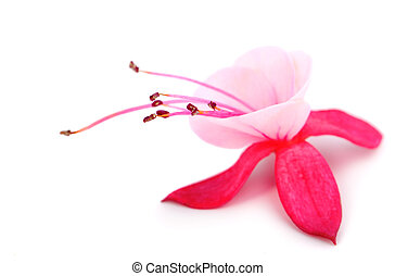 blooming fuchsia fuschia hybrida, isolated on a white...