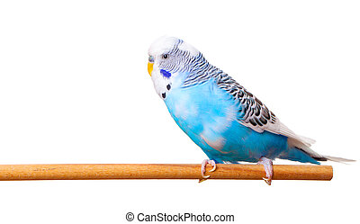 budgerigar on white background,  with with room for text