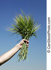 hands holding bundle of the  wheat
