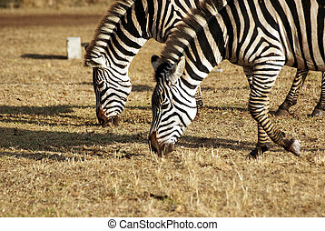 Wild zebra couple grazing