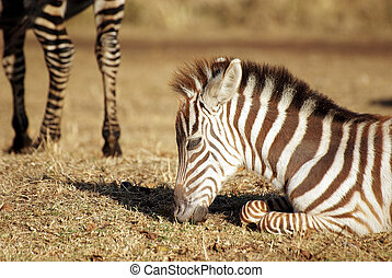 Wild common zebra baby grazing