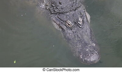 Florida Alligator eyes blinking - Alligator swimming in a...