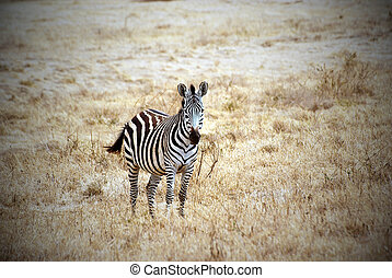 Lonely zebra picture with vignetting effect