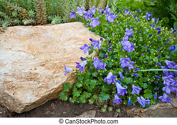 Blue Campanula rock plant - Close up of bellflower with...