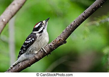 peludo,  perched, pájaro carpintero, árbol, joven