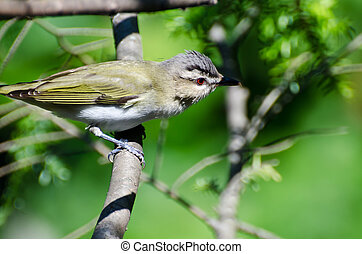 Red-Eyed Vireo Perched in a Tree