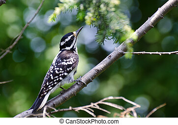 Hairy Woodpecker Perched in a Tree