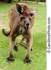 imagem, Australiano, canguru
