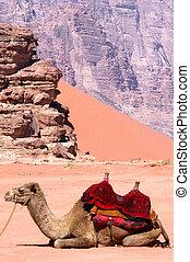 Wadi Rum Jordan - Two camels in Wadi Rum.