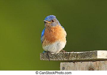 Male Eastern Bluebird on Nestbox - Male Eastern Bluebird...