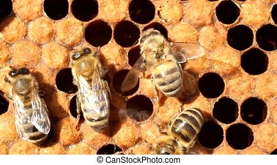 Work of the bees in hive - Bees take care of their offspring...