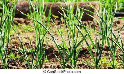 Green shoots of garlic grows in the garden