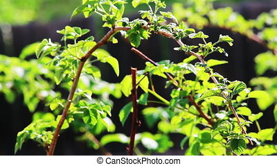Raspberry foliage shot in spring with shallow depth of field