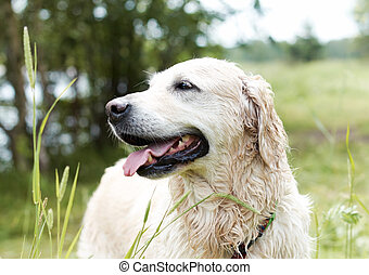 Portrait of Golden Retriever Female, eight years old