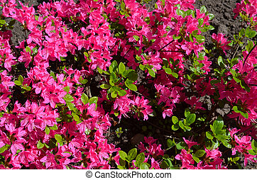 Close up of red pink vivid rhododendron rosebay - Background...