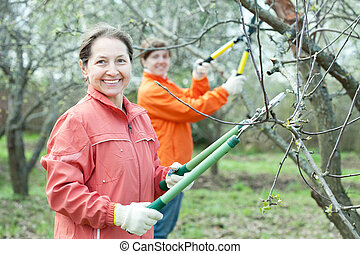 women pruning tree in orchard - Two women pruning apple tree...