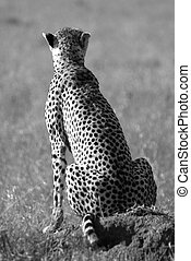 Wild cheetah in savanna in black and white - Image of a wild...