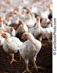 Young white hen looking at the camera with a group of other...