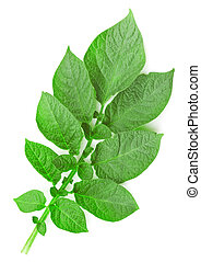 Potato leaf on a white background