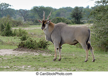 Portrait of a East African Eland.