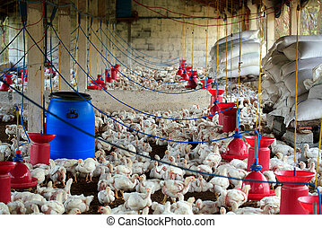 Poultry farm with many domesticated henfowl being grown for...