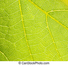 grapevine leaf macro as background