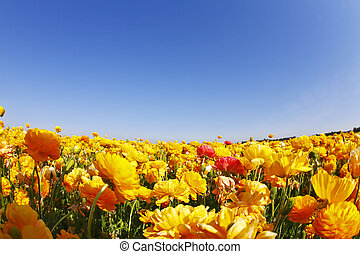 """Magnificent field of orange buttercups on a sunset, photographed by an objective """" the Fish eye """""""