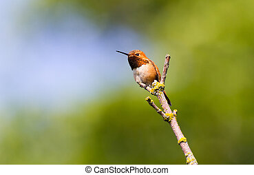Rufous Hummingbird with green background