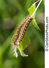 Tent caterpillar close up shot