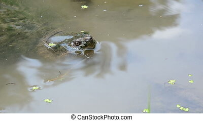 Snapping turtle in the shallow water of a small pond
