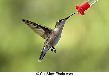 Hungry hummer - Female ruby throated hummingbird enjoying...